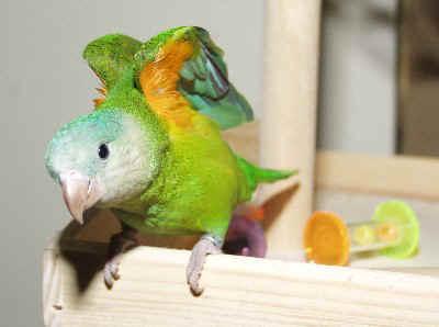 zelda-parrot