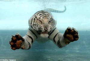 white-tiger-swimming