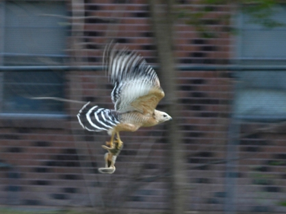 26883898.BroadWingedHawkwithsquirrel[1]