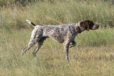 shorthaired_pointer_german