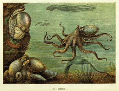 octopus-400